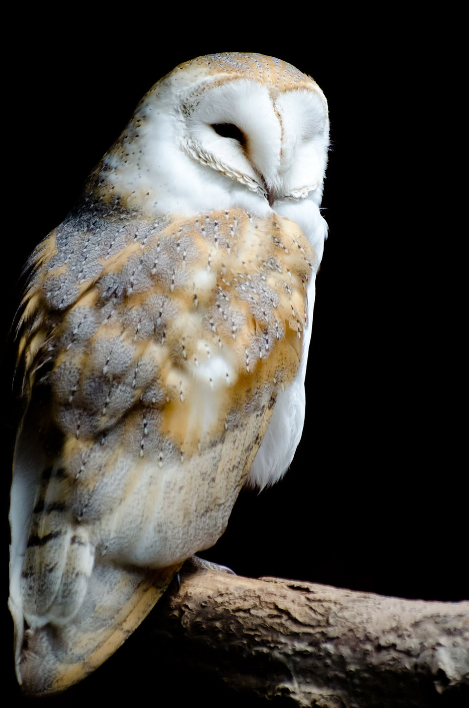 Barn owl on the black background