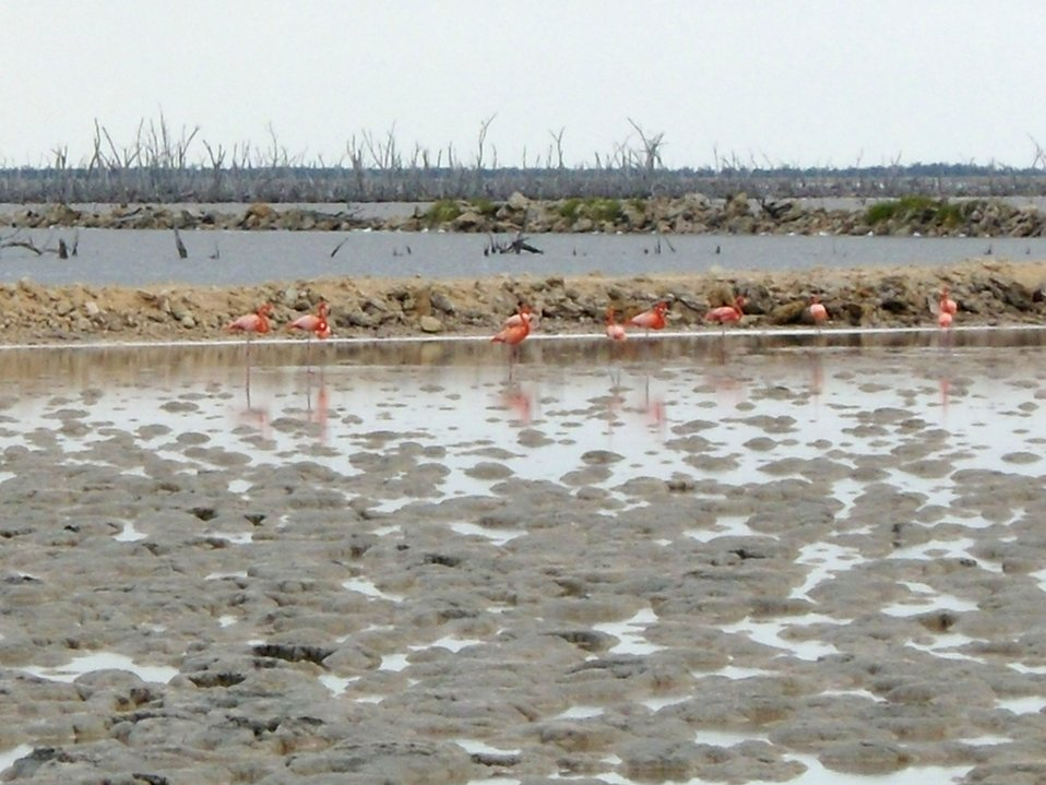Greater flamingos in salt ponds.