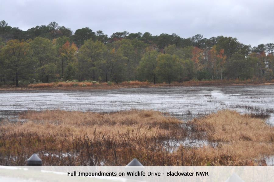 Full impoundments at Blackwater National Wildlife Refuge - Oct. 30 (MD)