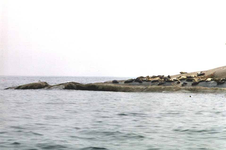 Harbor seals on Muscle Ridge Island.