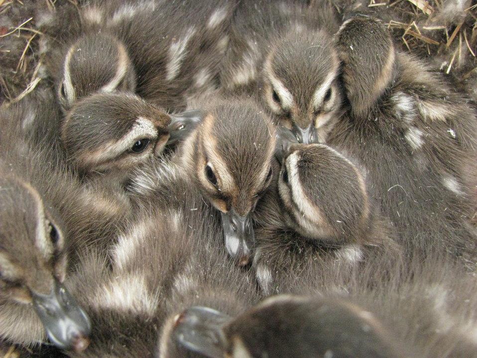 Pintail ducklings
