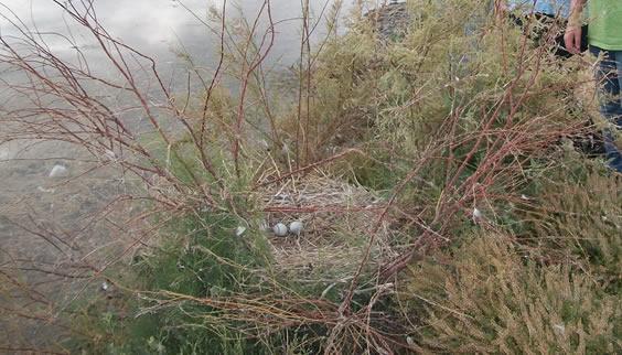 Nest at Bear River Migratory Bird Refuge