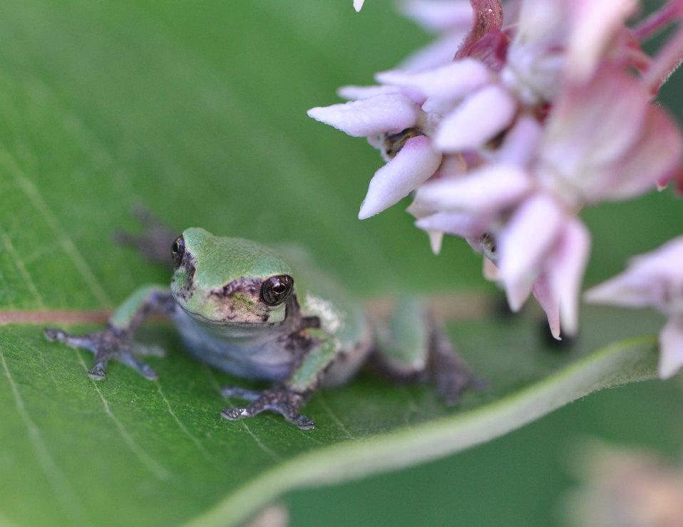 Eastern Gray Treefrog at Horicon National Wildlife Refuge