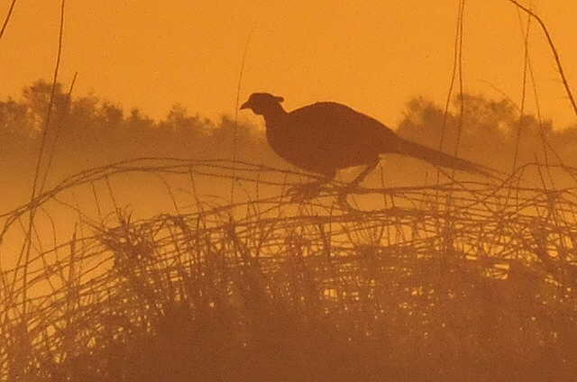 Rooster pheasant at sunrise Sand Lake WMD