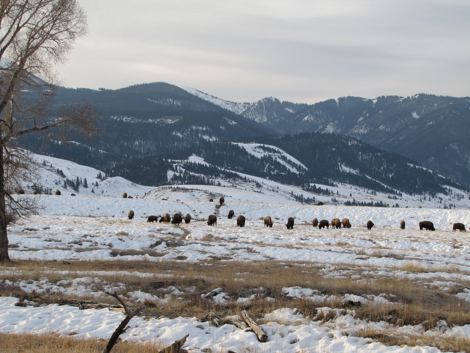 Bison on the National Elk Refuge