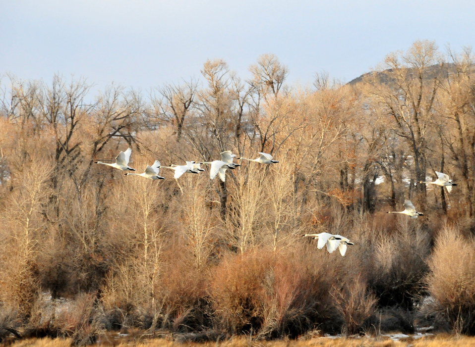 Trumpeter Swans on Seedskadee National Wildlife Refuge 01