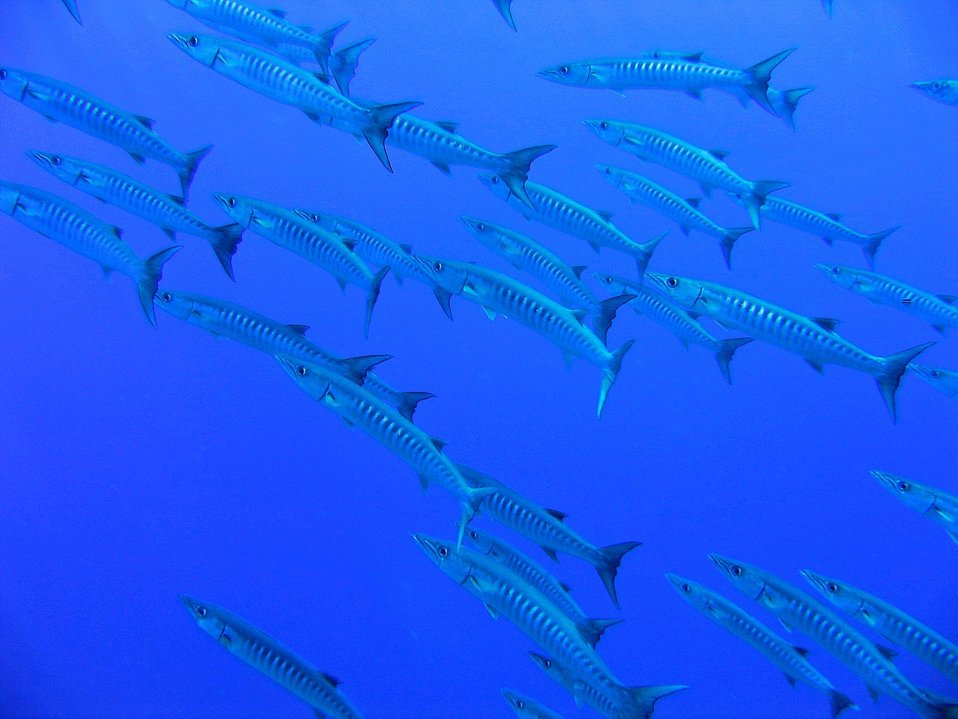 What goes up --- photo #1 of sequence.  A school of barracuda.