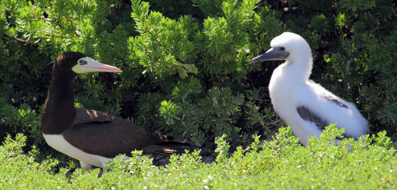Brown Booby parent and chick on Pedro Cay, Jamaica Credit SCSCB