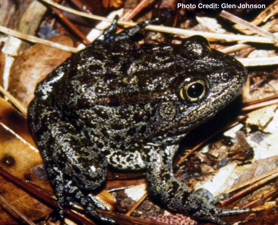 Mississippi gopher frog 'aka' Dusky gopher frog (Rana sevosa)