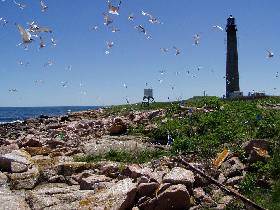 Terns up at Petit Manan Island