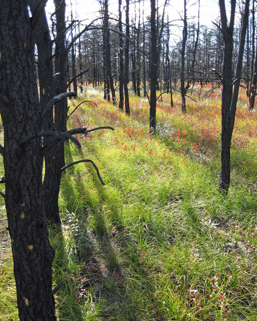 Endangered Kirtland's warbler habitat after the Meridian Fire of 2010