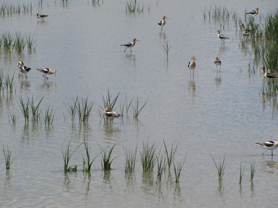 Migratory Shorebirds Benefit from PFW