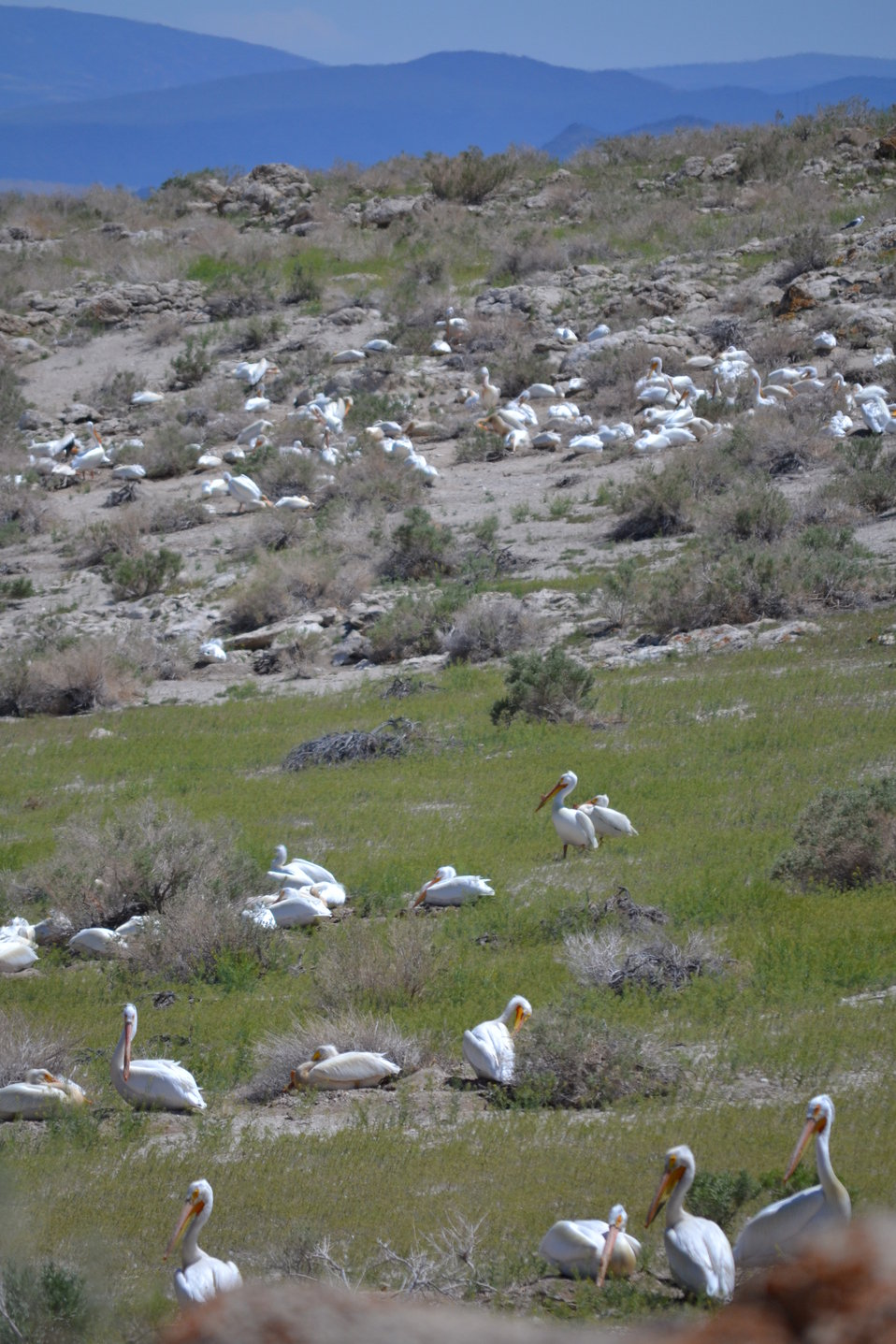 Nesting American white pelicans at Anaho Island NWR