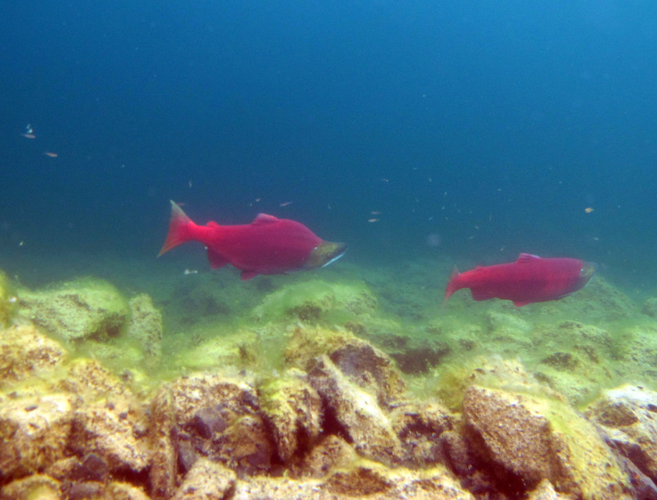 Sockeye pair in Hidden Lake