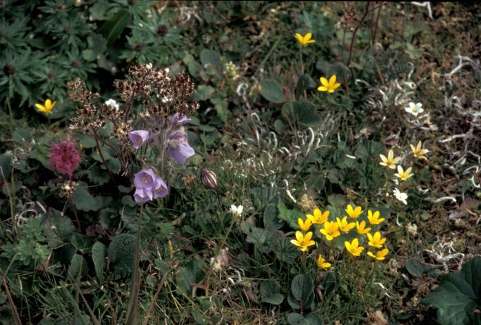 box saxifrage, Jacob's ladder, lousewort