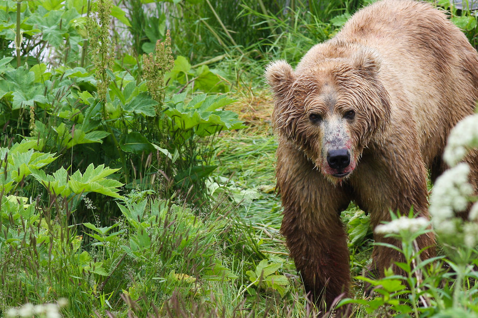 Kodiak brown bear dining on fresh salmon