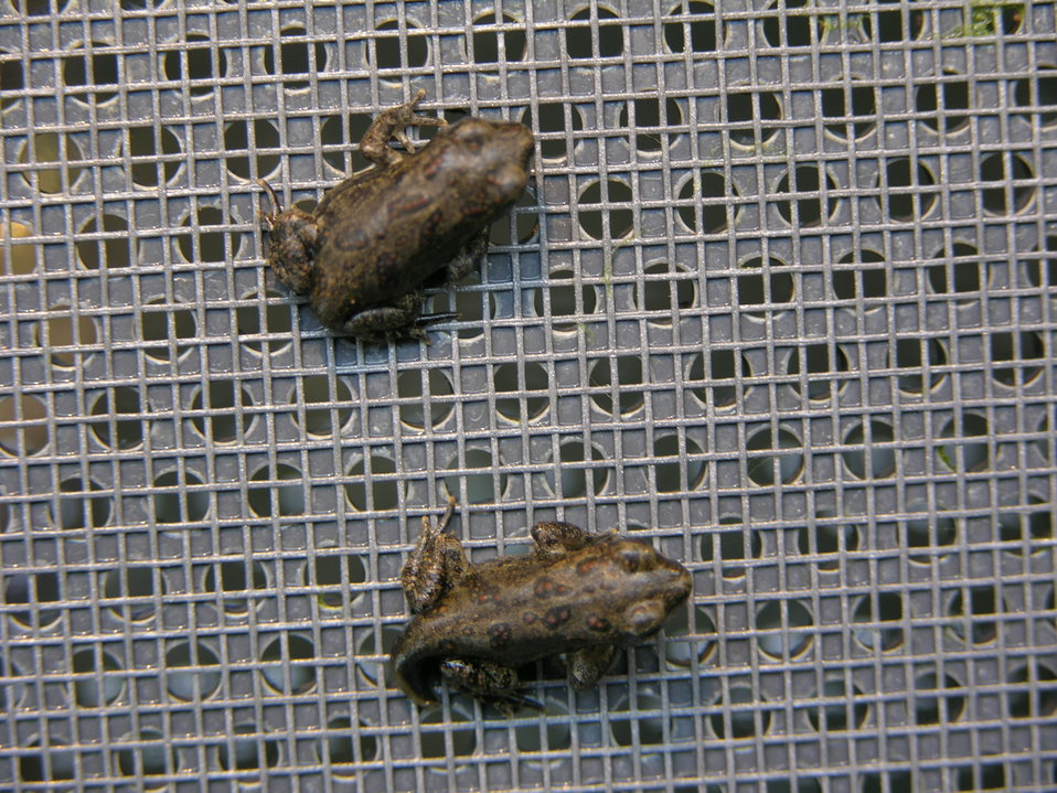 Wyoming Toadlets