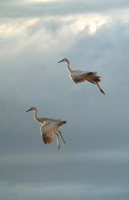 sandhill cranes arrive at Bosque del Apache NWR