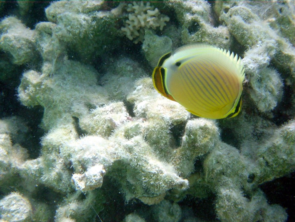 Oval butterfly fish (Chaetodon lunulatus).