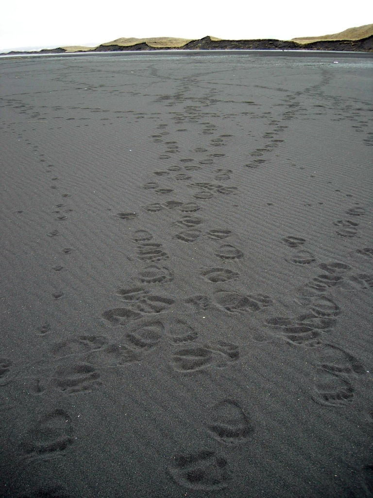 Wolf and bear tracks