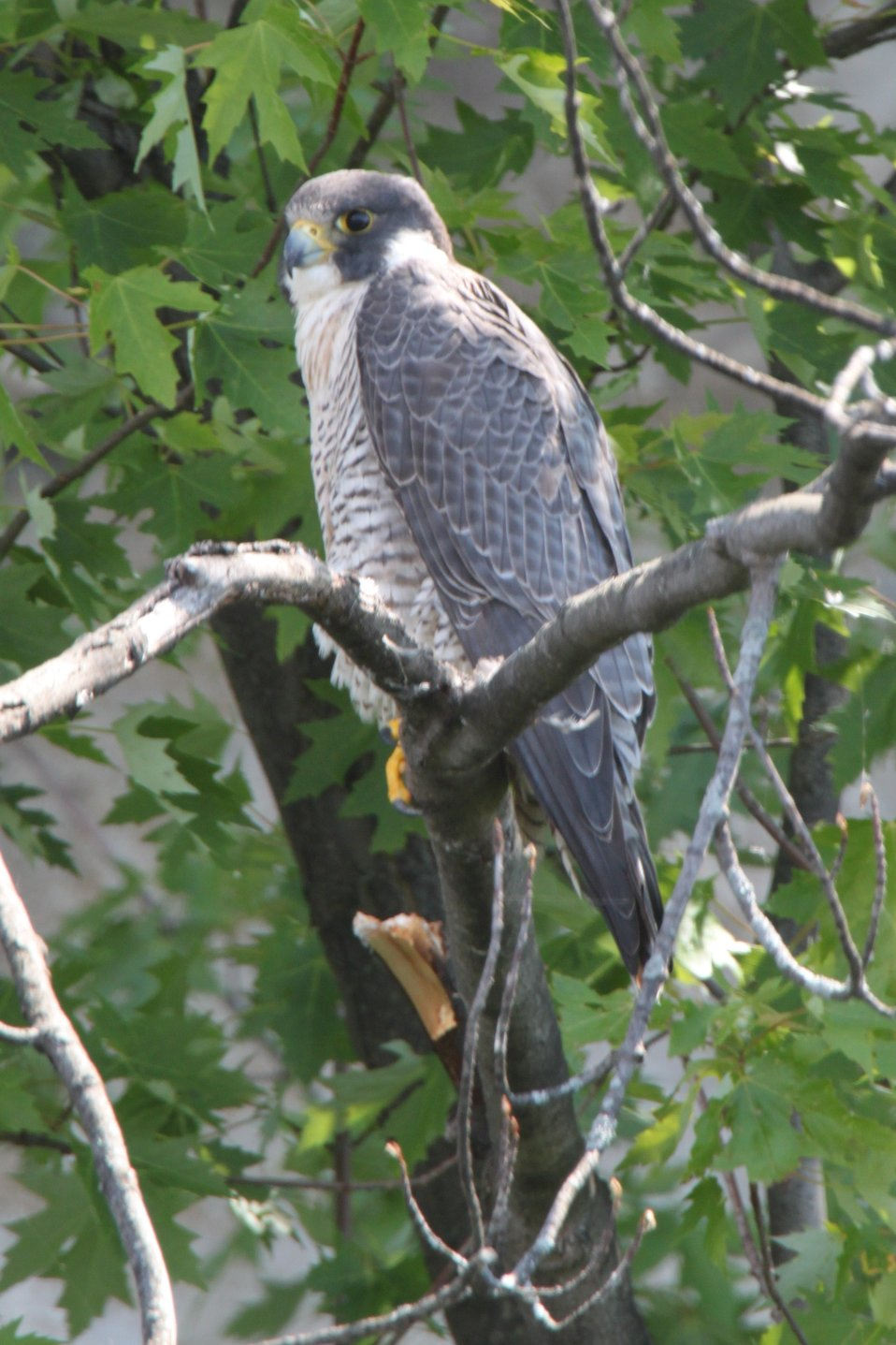 Female Peregrine Falcon
