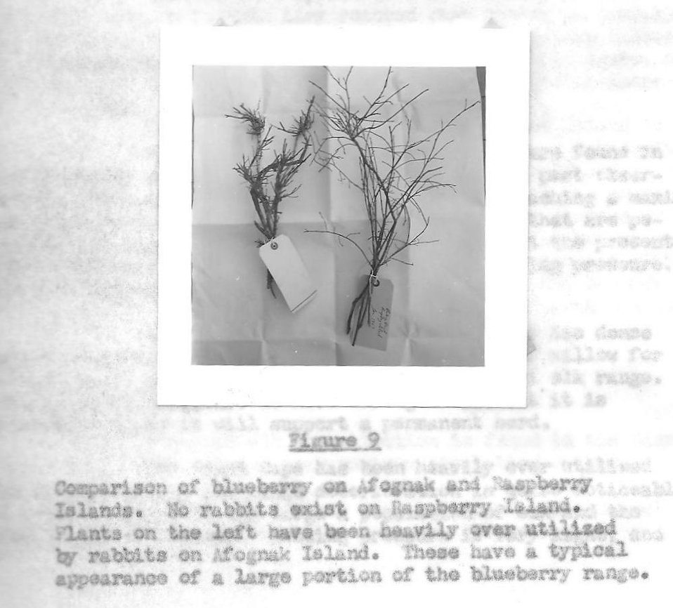 (1957) Blueberry Comparison