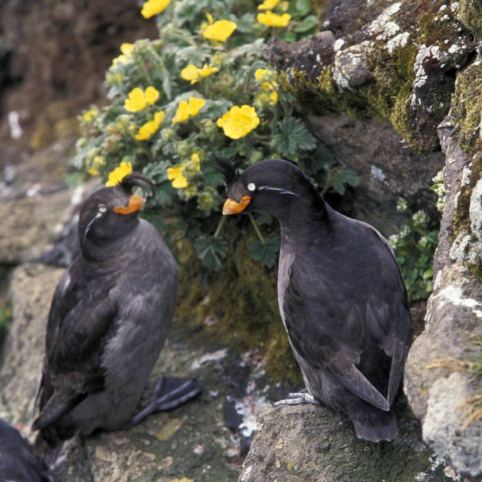 crested auklet pair