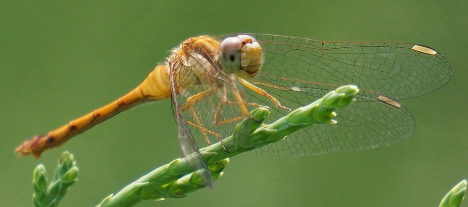 Dragonfly - Two Ponds