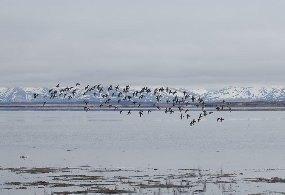 Rock Sandpiper flock