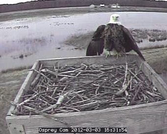 bald eagle checks out the osprey cam...