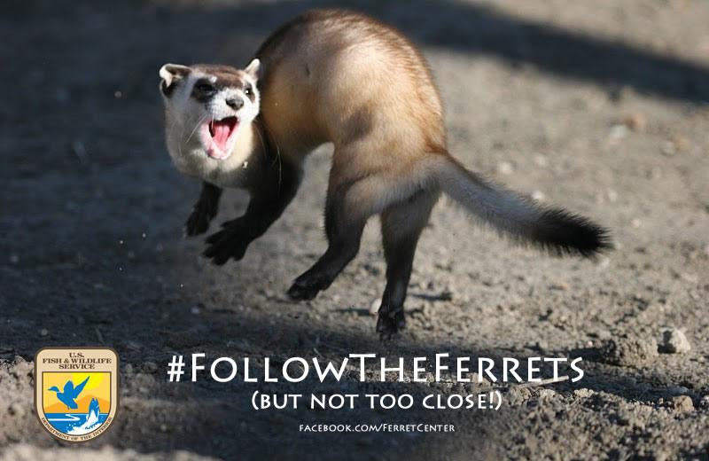 Follow the Ferrets