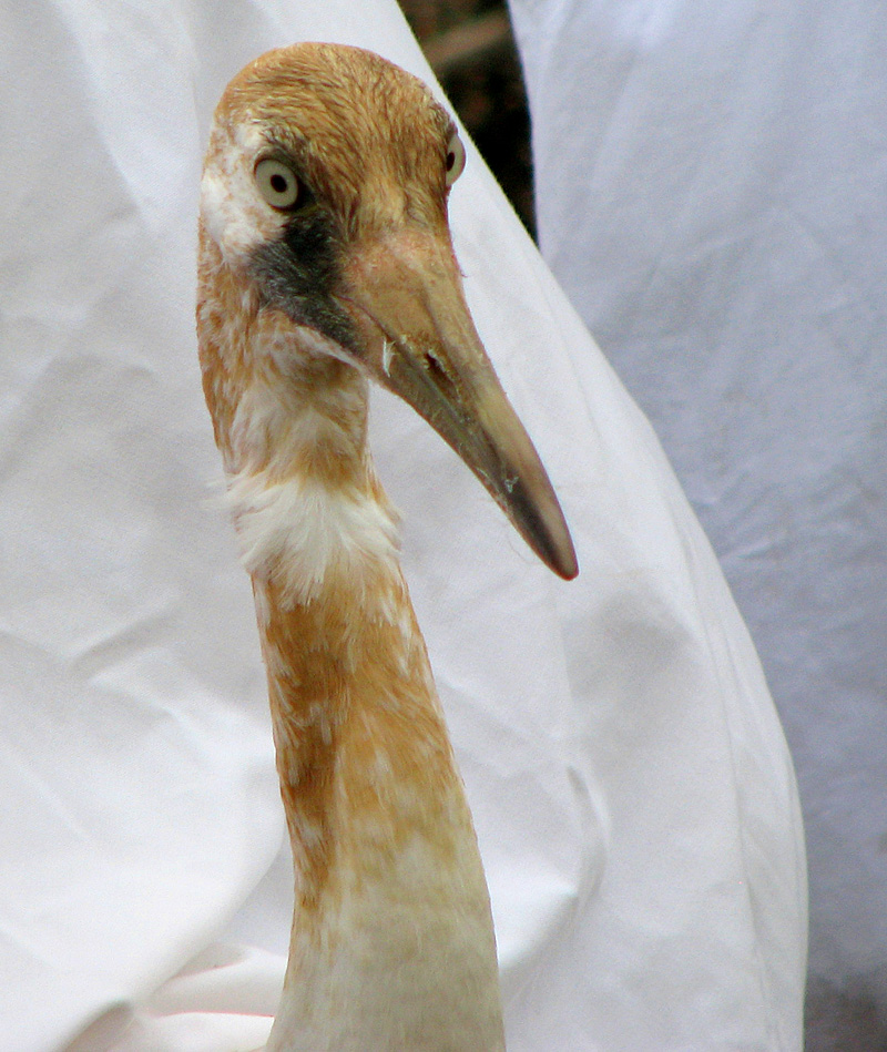 Juvenile Whooper Ready for Release