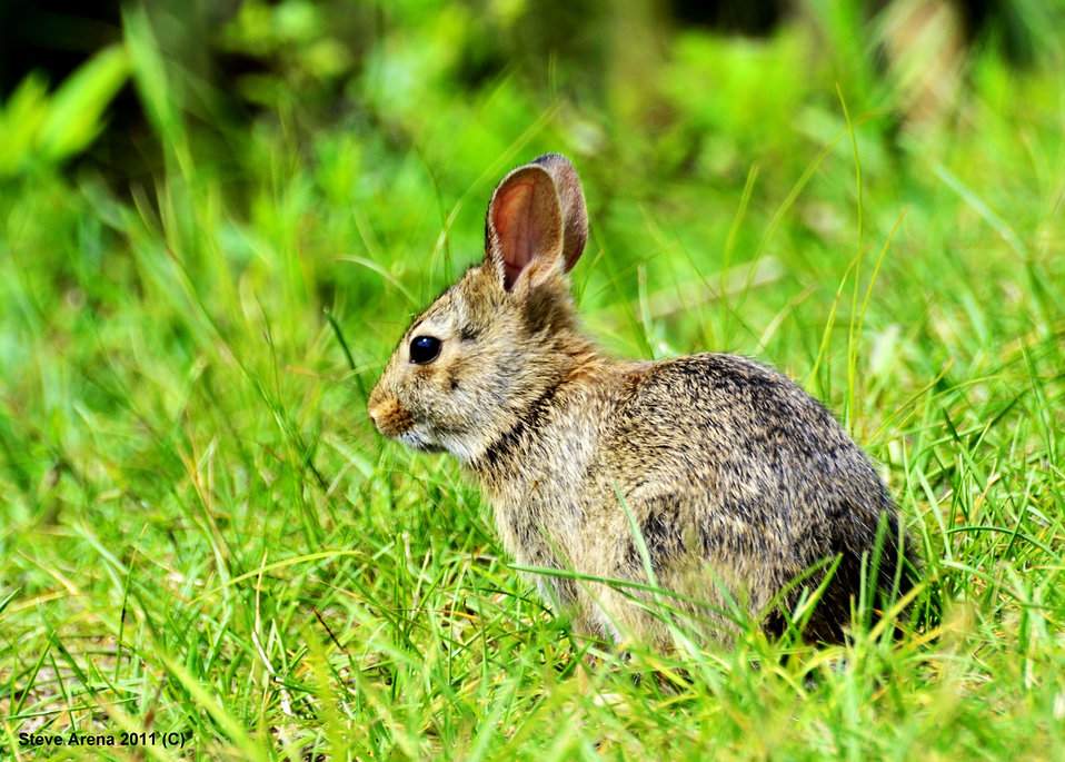 Young Cottontail species (Sylvilagus floridarius) along dike 10 June 2011