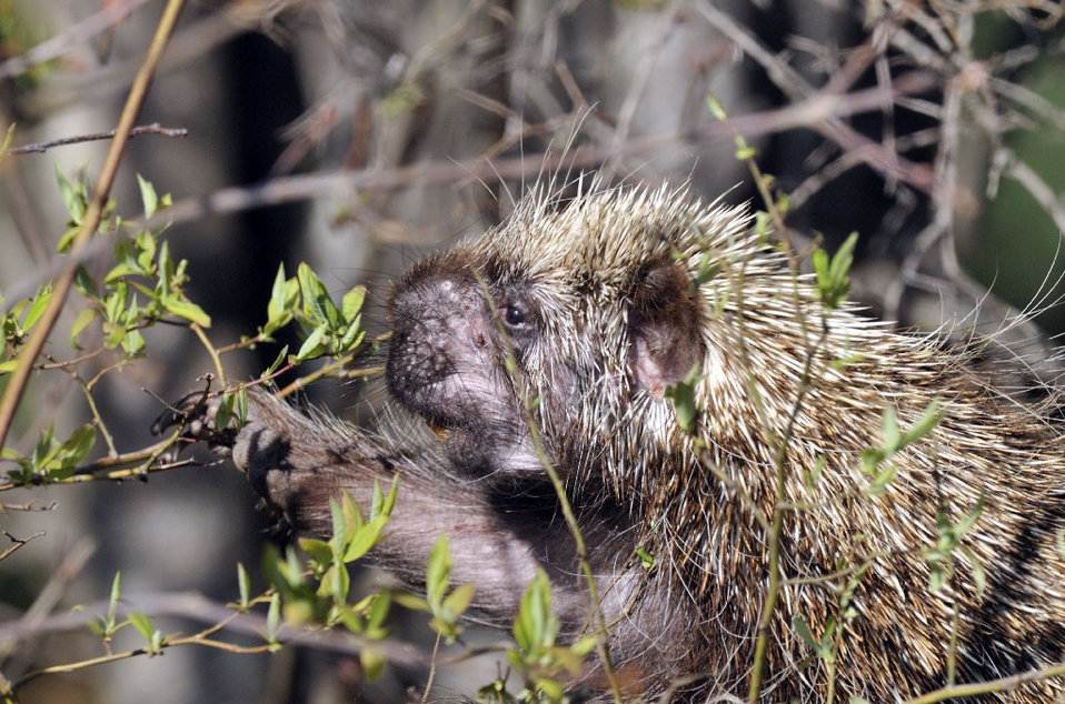 Photo of the Week - North American Porcupine