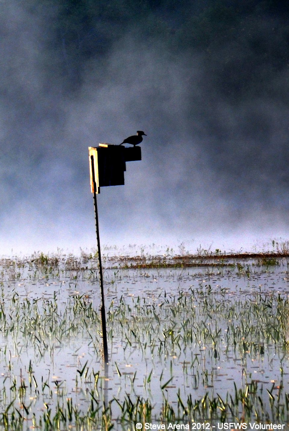 Hooded Merganser (Lophodytes cucullatus) hen greeting dawn from atop her nest box, Great Meadows NWR, Concord, MA