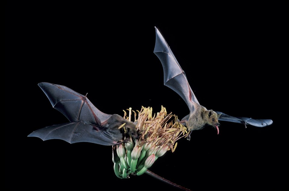 Leptonycteris curasoae, lesser long-nosed bat