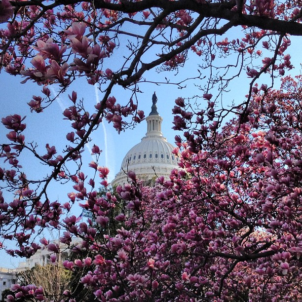 Magnolias in Bloom at Capitol