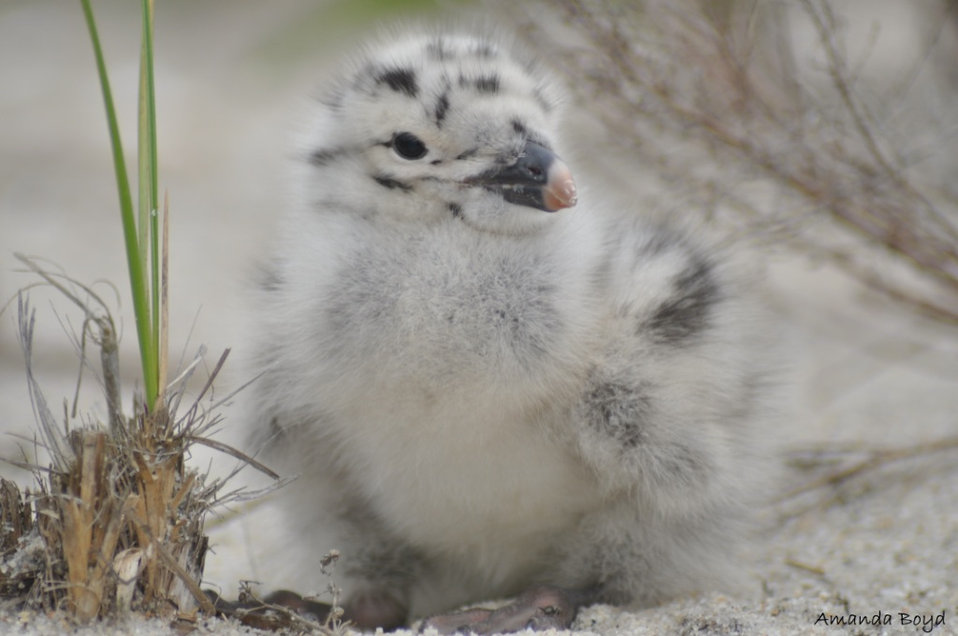 great black-backed gull chick