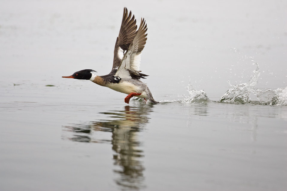 Red-breasted merganser (Adult male in breeding plumage)