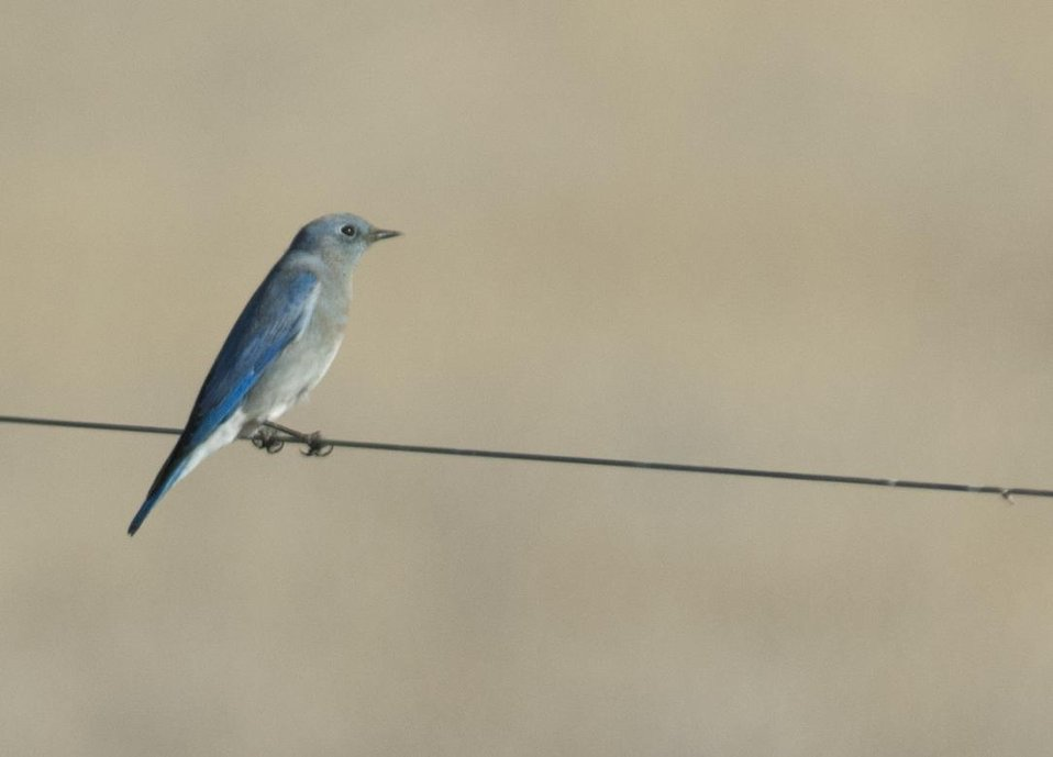 Western Bluebird, Carrizo Plain