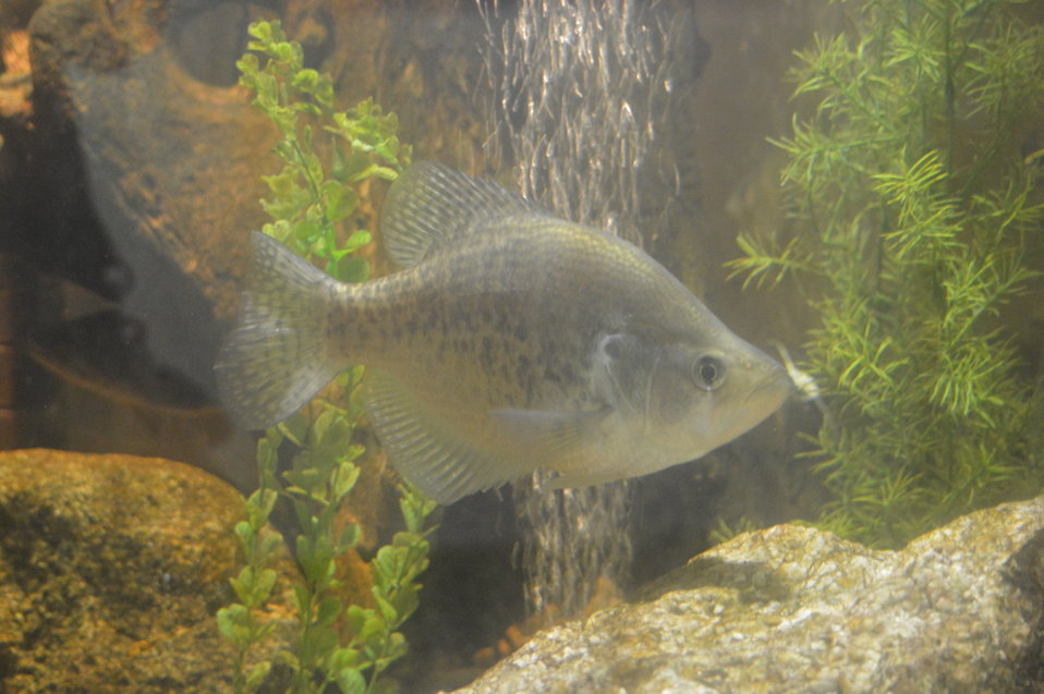 Perch in aquarium at Garrison Dam NFH