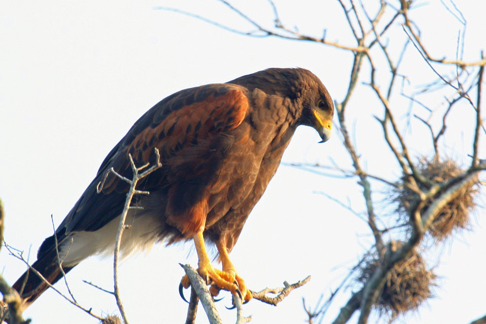 Harris's Hawk at Santa Ana NWR