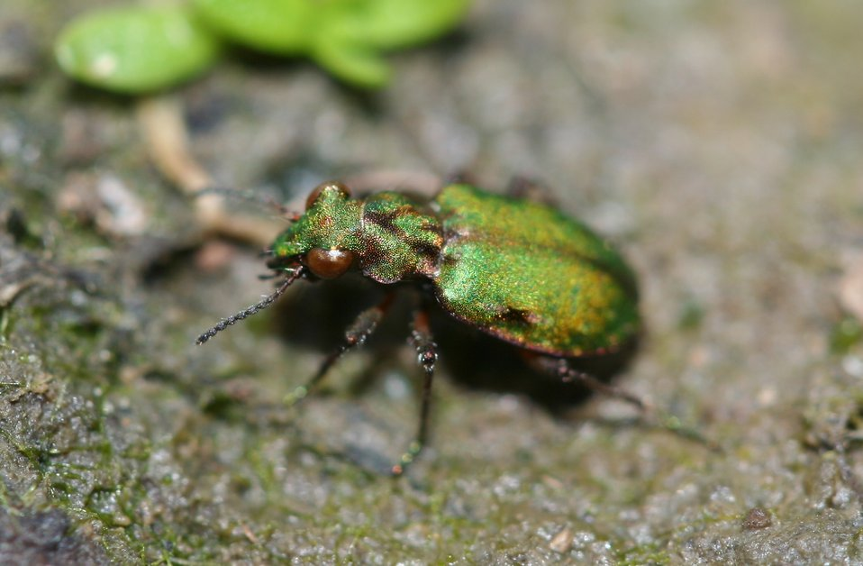 Delta Green ground beetle
