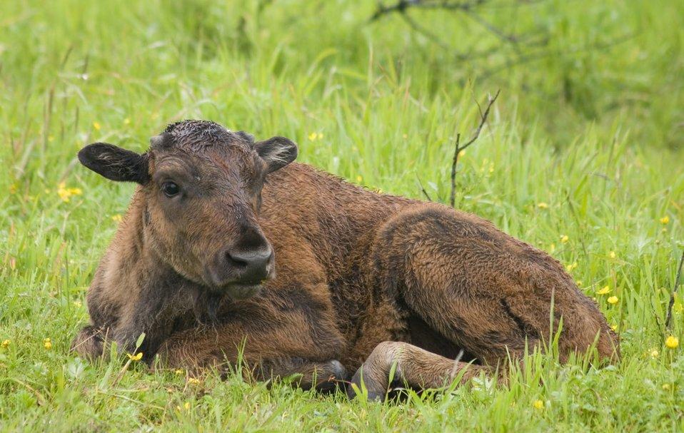 Wood Bison Calf