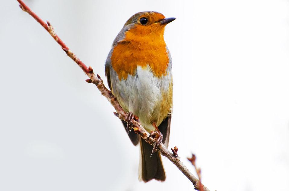 Bird, robin - erithacus rubecula