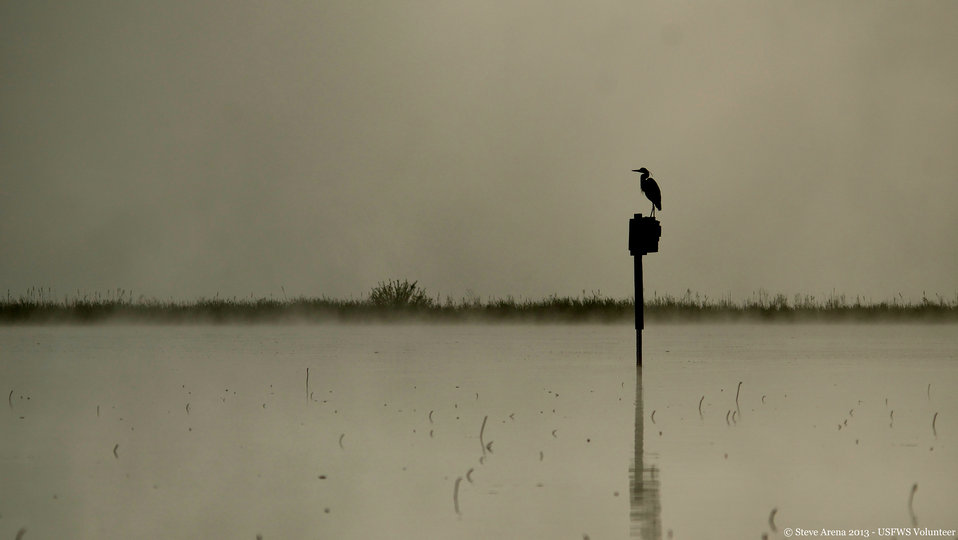 Great Blue Heron (Ardea herodias) at Dawn