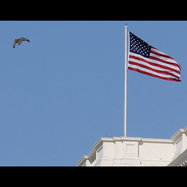 Red-tailed hawk enjoys blue skies and warm October afternoon at Capitol.