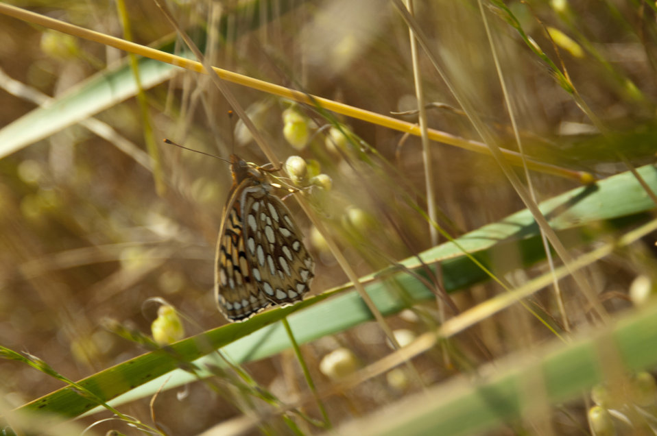 Callippe Silverspot Butterfly 1