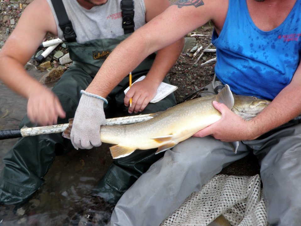 Measuring Bull Trout