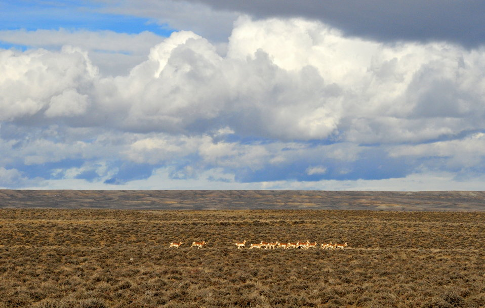 Pronghorns near Seedskadee NWR 01